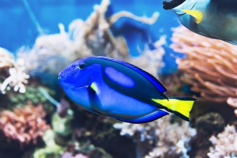 Blue-Tang-Dory-Fish_Fotolia_109575824_M